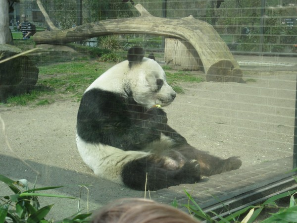 Panda at Berlin Zoo heatheronhertravels/Flickr